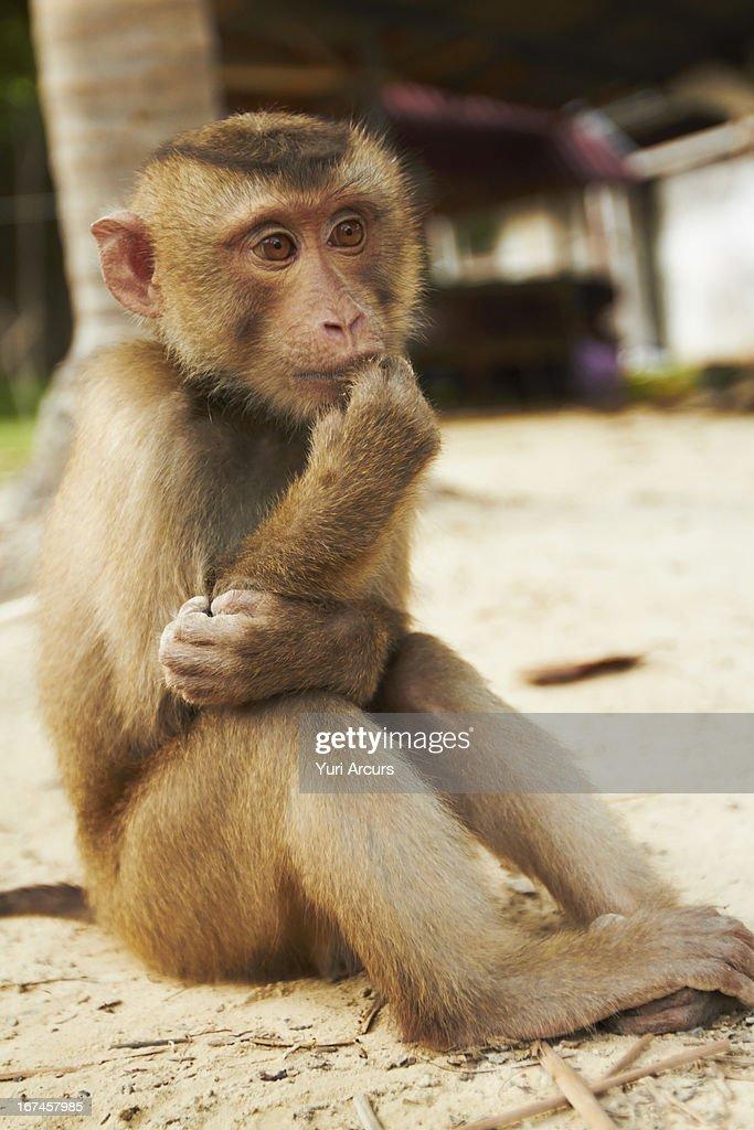 Thailand, Portrait of macaque monkey : Stock Photo