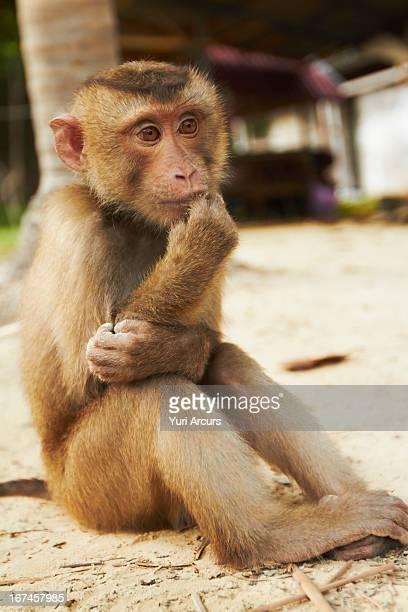 Thailand, Portrait of macaque monkey