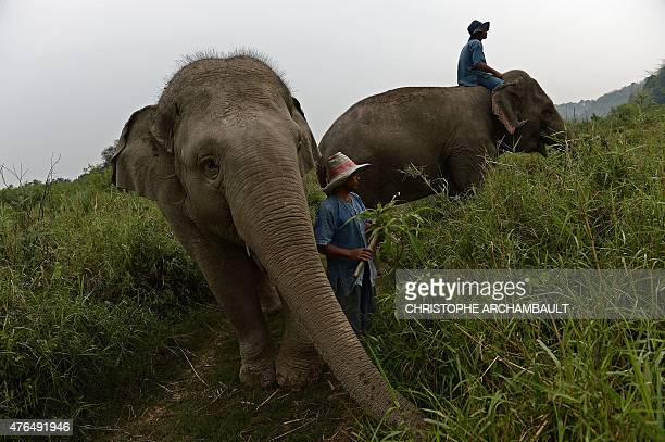 Thailandlifestyleelephantcoffee FEATURE by Marion THIBAUT This picture taken on April 9 2015 shows mahouts riding elephants through a grassland at...