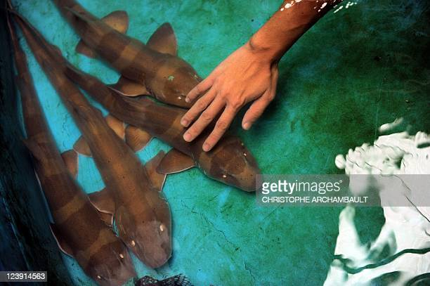 ThailandwildlifetourismsharkFEATURE by Didier LAURAS In this picture taken on September 3 baby bamboo sharks are seen in the tank of an aquarium in...