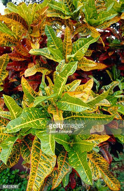 A cluster of variegated leaves of the Croton, Codiaeum variegatum.