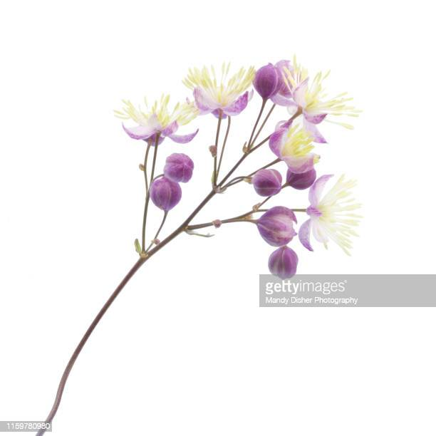 thalictrum - purple lilac stock pictures, royalty-free photos & images