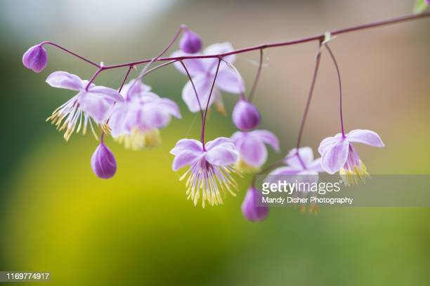 thalictrum - mandy pritty stock pictures, royalty-free photos & images