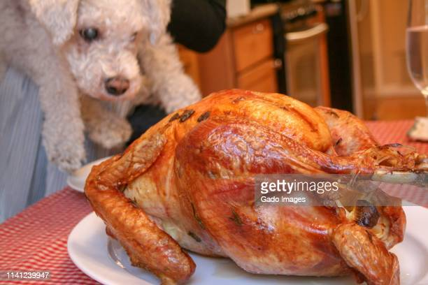 thanksgiving bichon - thanksgiving dog stock photos and pictures