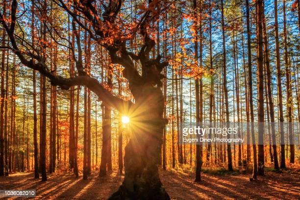 rhodope mountain, bulgaria - november 2012: tharcian sanctuary of belintash - árbol de hoja caduca fotografías e imágenes de stock