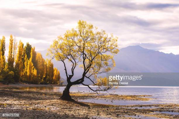 That Wanaka Tree in Autumn, lone willow tree at Lake Wanaka