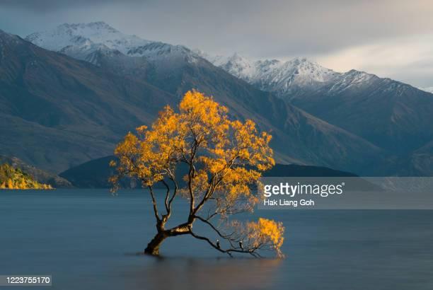 that wanaka tree in autumn - lago wanaka - fotografias e filmes do acervo