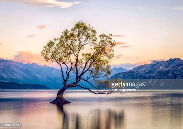 that wanaka tree - lago wanaka - fotografias e filmes do acervo