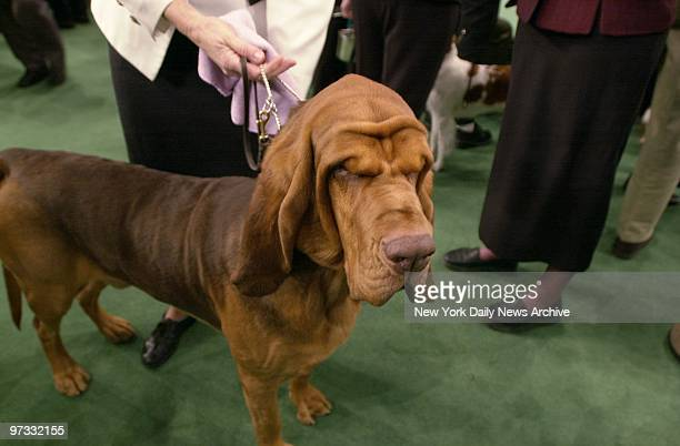 That wrinkled brow doesn't mean Knotty is a worrier it just goes with being a bloodhound Knotty is at Madison Square Garden to compete in the 127th...
