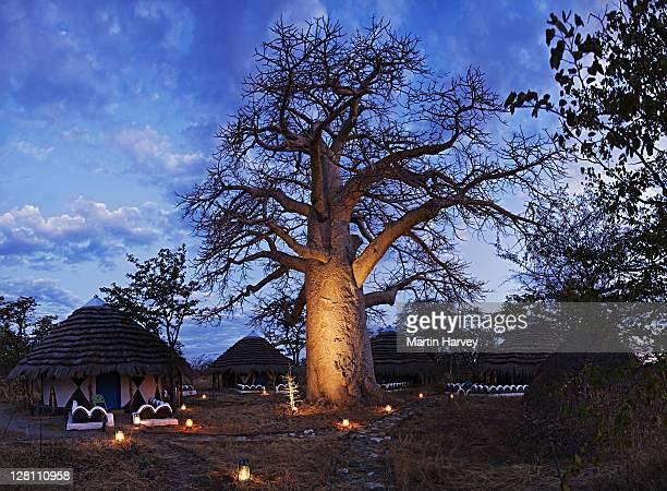 Thatched hut accomodation at sunset. Lanterns light up a large baobab tree (Adansonia digitata) and walkways. Planet Baobab. Botswana. (PR: Property Released)