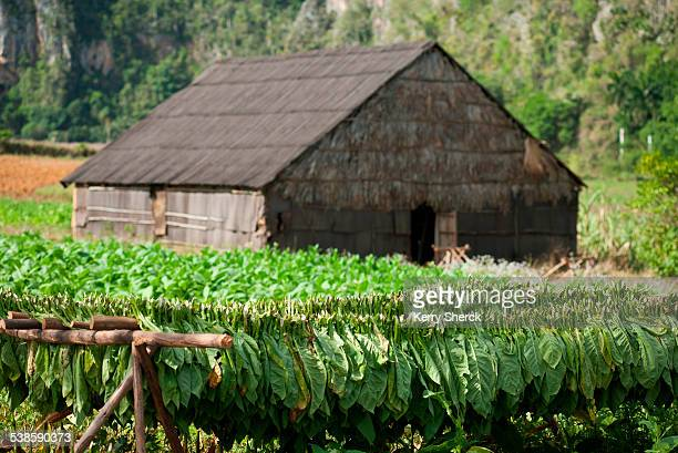 a thatch-roofed barn is surrounded by growing and drying racks of tobacco. - pinar del rio stock photos and pictures