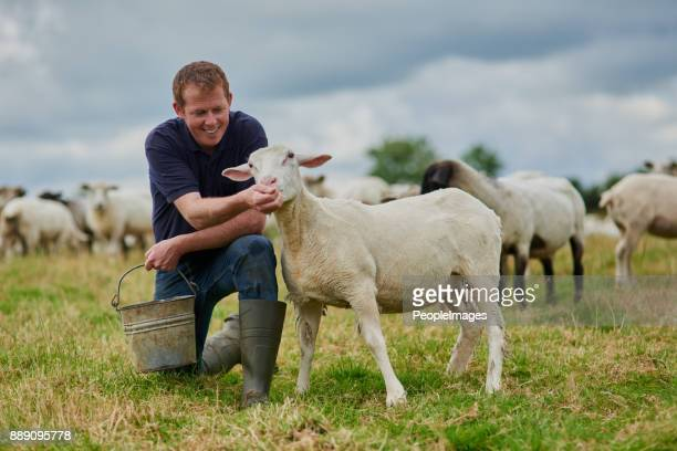that's a good sheep - livestock stock pictures, royalty-free photos & images