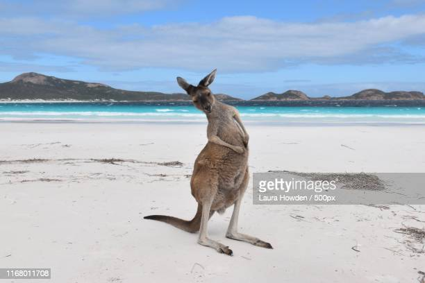 that's the spot - kangaroo stock pictures, royalty-free photos & images