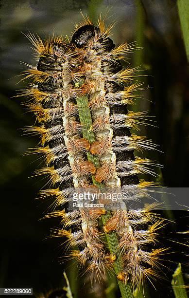 Thaumetopoea pityocampa (pine processionary moth) - caterpillars feeding on needle