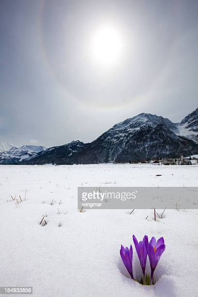 thawing snow and upcoming crocus in spring, tirol, austria