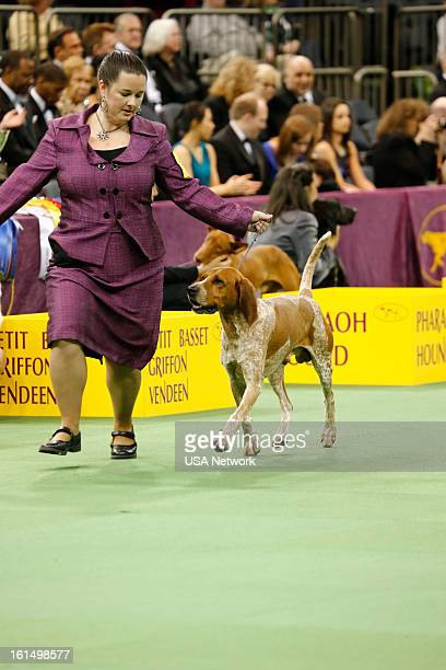 SHOW The 137th Annual Westminster Kennel Club Dog Show American English Coonhound at Madison Square Garden in New York City on Monday February 11...