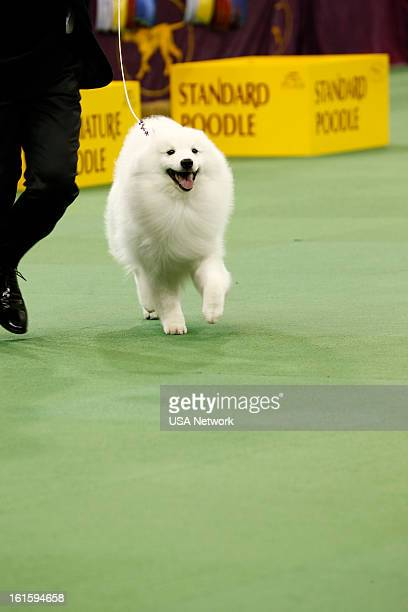 SHOW 'The 137th Annual Westminster Kennel Club Dog Show' American Eskimo Dog at Madison Square Garden in New York City on Monday February 11 2013...