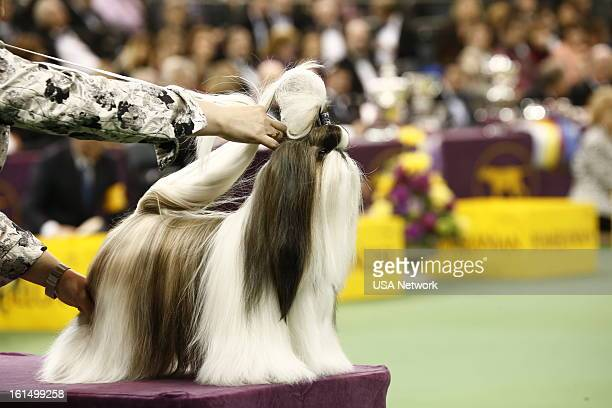 SHOW The 137th Annual Westminster Kennel Club Dog Show at Madison Square Garden in New York City on Monday February 11 2013 Pictured Toy Group