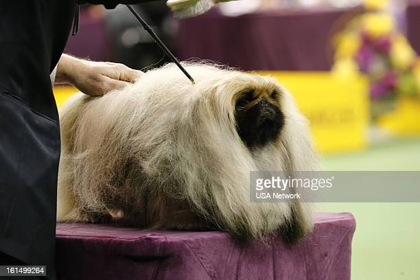 SHOW 'The 137th Annual Westminster Kennel Club Dog Show' at Madison Square Garden in New York City on Monday February 11 2013 Pictured Toy Group
