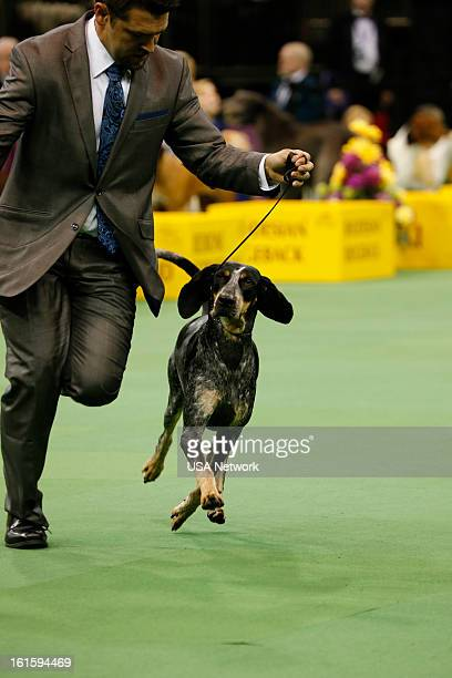 SHOW The 137th Annual Westminster Kennel Club Dog Show at Madison Square Garden in New York City on Monday February 11 2013 Pictured Bluetick...