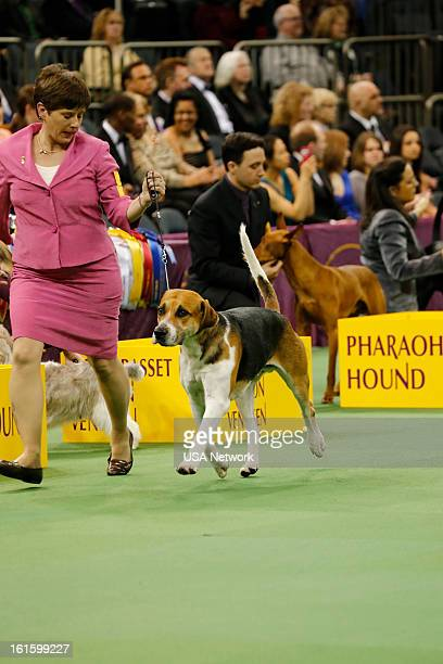 SHOW The 137th Annual Westminster Kennel Club Dog Show at Madison Square Garden in New York City on Monday February 11 2013 Pictured Treeing Walker...
