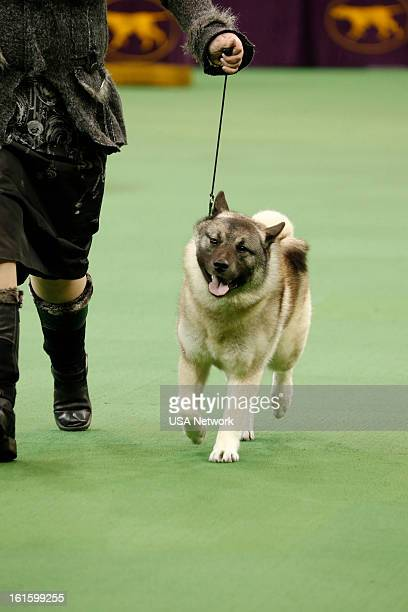 SHOW 'The 137th Annual Westminster Kennel Club Dog Show' at Madison Square Garden in New York City on Monday February 11 2013 Pictured Norwegian...