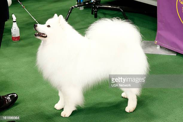 SHOW 'The 137th Annual Westminster Kennel Club Dog Show' at Madison Square Garden in New York City on Monday February 11 2013 Pictured American...
