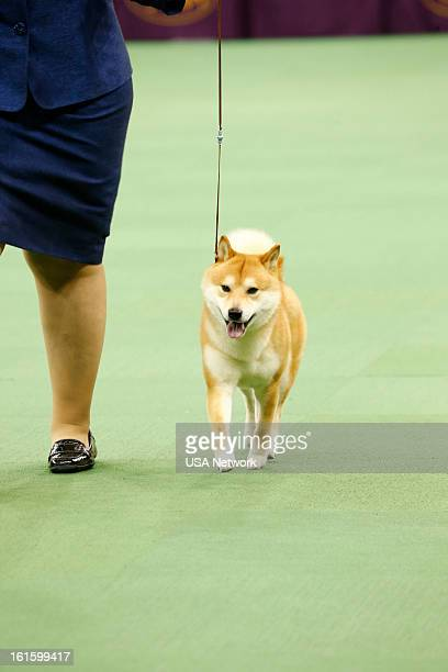 SHOW The 137th Annual Westminster Kennel Club Dog Show at Madison Square Garden in New York City on Monday February 11 2013 Pictured Shiba Inu