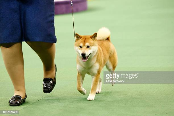 SHOW 'The 137th Annual Westminster Kennel Club Dog Show' at Madison Square Garden in New York City on Monday February 11 2013 Pictured Shiba Inu
