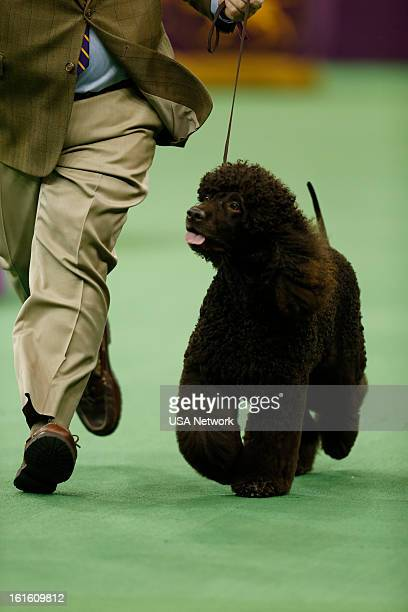 SHOW The 137th Annual Westminster Kennel Club Dog Show at Madison Square Garden in New York City on Tuesday February 12 2013 Pictured Sporting Group...