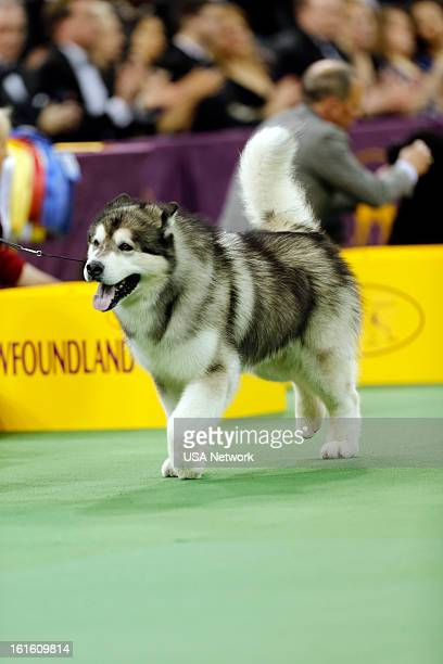 SHOW The 137th Annual Westminster Kennel Club Dog Show at Madison Square Garden in New York City on Tuesday February 12 2013 Pictured Working Group...