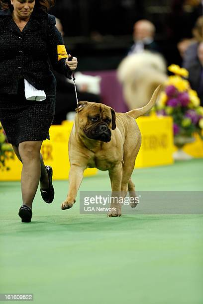 SHOW 'The 137th Annual Westminster Kennel Club Dog Show' at Madison Square Garden in New York City on Tuesday February 12 2013 Pictured Working Group...