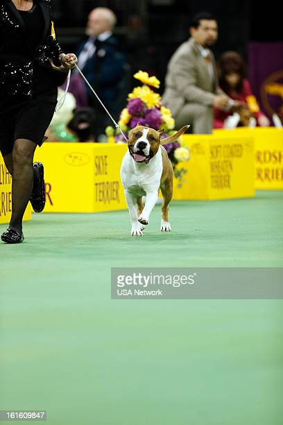 SHOW 'The 137th Annual Westminster Kennel Club Dog Show' at Madison Square Garden in New York City on Tuesday February 12 2013 Pictured Terrier Group...