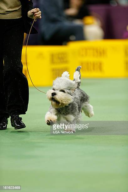 "The 137th Annual Westminster Kennel Club Dog Show"" at Madison Square Garden in New York City on Monday, February 11, 2013 -- Pictured: Dandie Dinmont..."