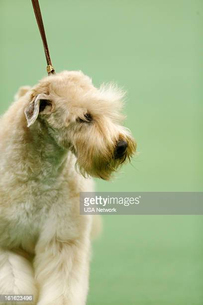 SHOW The 137th Annual Westminster Kennel Club Dog Show at Madison Square Garden in New York City on Monday February 11 2013 Pictured Soft Coated...