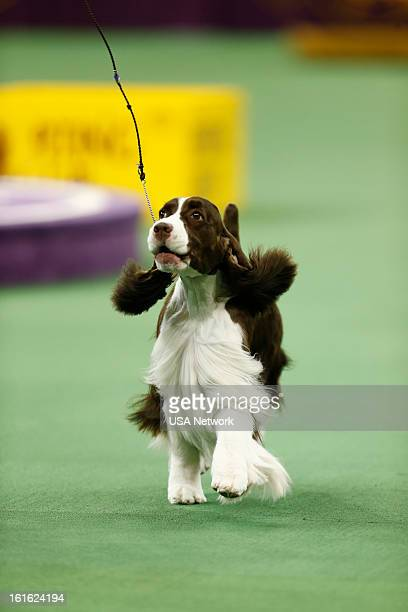 SHOW 'The 137th Annual Westminster Kennel Club Dog Show' at Madison Square Garden in New York City on Monday February 11 2013 Pictured English...