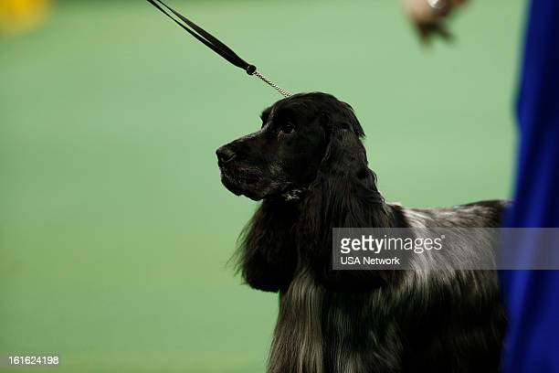SHOW 'The 137th Annual Westminster Kennel Club Dog Show' at Madison Square Garden in New York City on Monday February 11 2013 Pictured English Cocker...