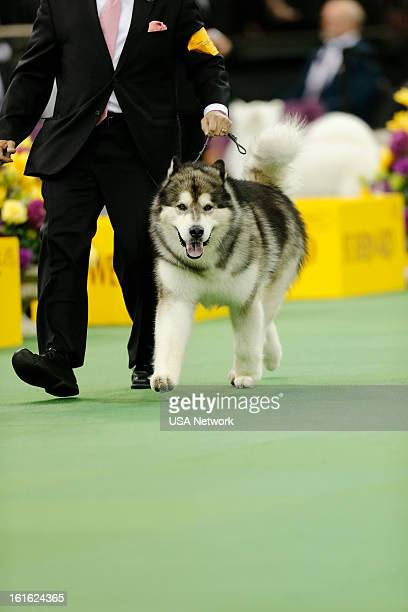 SHOW The 137th Annual Westminster Kennel Club Dog Show at Madison Square Garden in New York City on Monday February 11 2013 Pictured Alaskan Malamute