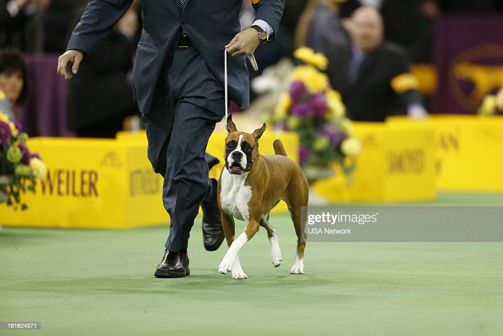 show the 137th annual westminster kennel club dog show at