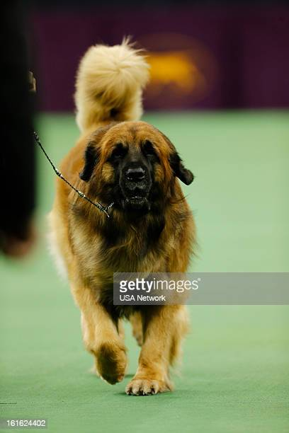 SHOW The 137th Annual Westminster Kennel Club Dog Show at Madison Square Garden in New York City on Monday February 11 2013 Pictured Leonberger