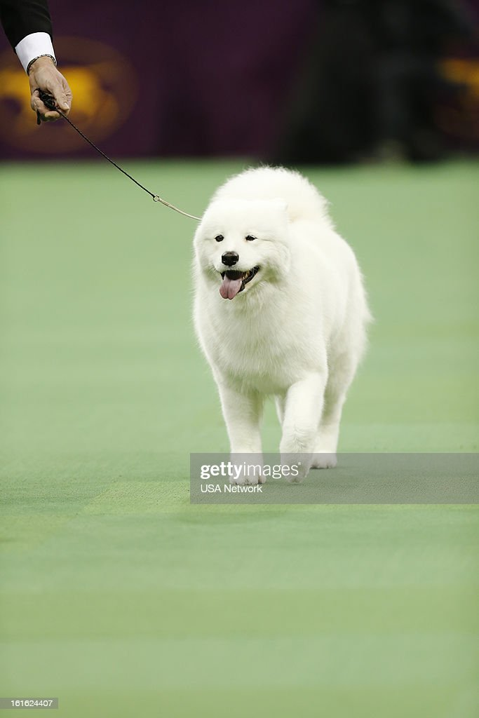 SHOW -- 'The 137th Annual Westminster Kennel Club Dog Show' at Madison Square Garden in New York City on Monday, February 11, 2013 -- Pictured: Samoyeda --