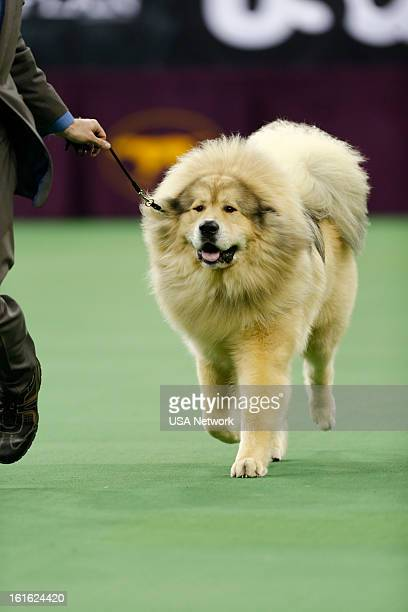 SHOW The 137th Annual Westminster Kennel Club Dog Show at Madison Square Garden in New York City on Monday February 11 2013 Pictured Tibetan Mastiff