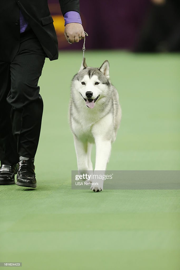 SHOW -- 'The 137th Annual Westminster Kennel Club Dog Show' at Madison Square Garden in New York City on Monday, February 11, 2013 -- Pictured: Siberian Husky --