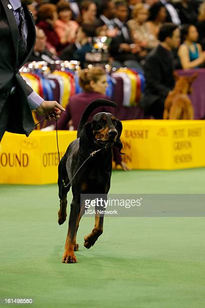 SHOW The 137th Annual Westminster Kennel Club Dog Show Black and Tan Coonhound at Madison Square Garden in New York City on Monday February 11 2013...