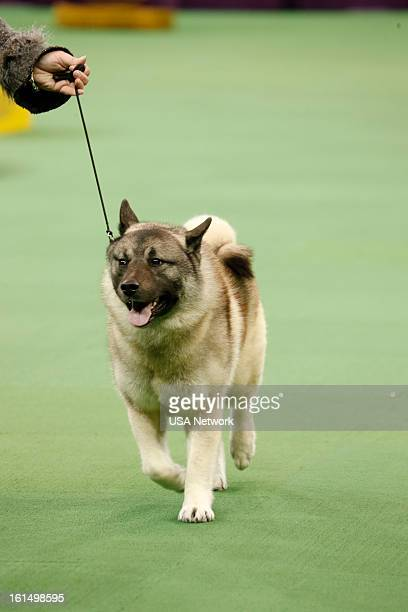 SHOW 'The 137th Annual Westminster Kennel Club Dog Show' Norwegian Elkhound at Madison Square Garden in New York City on Monday February 11 2013...