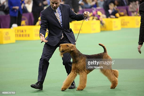 SHOW 'The 138th Annual Westminster Kennel Club Dog Show' Pictured Airedale Terrier at Madison Square Garden in New York City on Monday February 11...