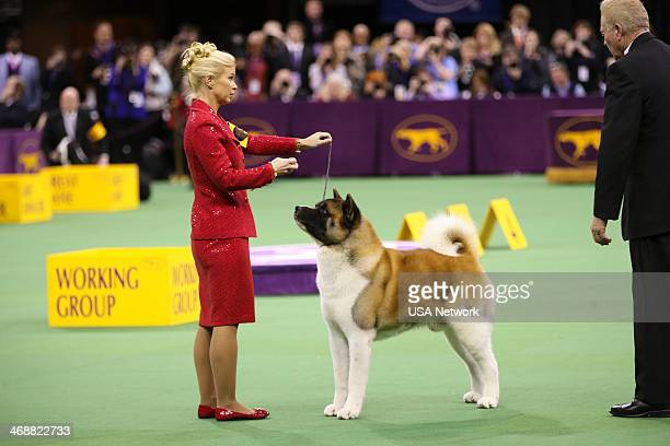SHOW 'The 138th Annual Westminster Kennel Club Dog Show' Pictured Akita at Madison Square Garden in New York City on Monday February 11 2014
