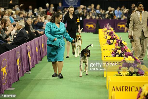SHOW The 138th Annual Westminster Kennel Club Dog Show Pictured American English Coonhound at Madison Square Garden in New York City on Monday...