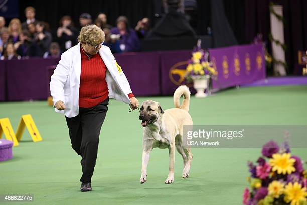SHOW 'The 138th Annual Westminster Kennel Club Dog Show' Pictured Anatolian Shepherd Dog at Madison Square Garden in New York City on Monday February...