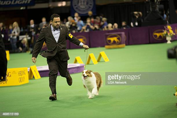 """The 138th Annual Westminster Kennel Club Dog Show"""" -- Pictured: Australian Shepherd at Madison Square Garden in New York City on Monday, February 10,..."""